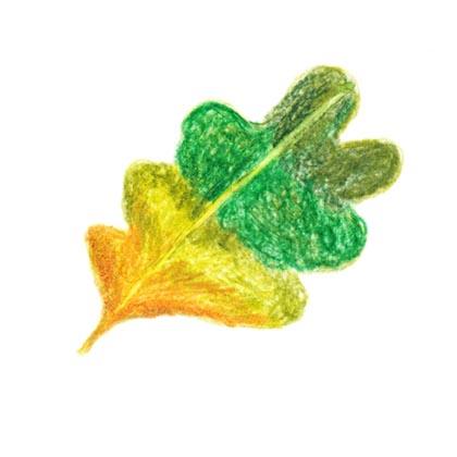 毎日が和菓子日和 | 和菓子の魅力 | 柏餅の葉はどんな色?