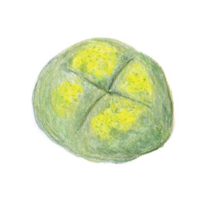 毎日が和菓子日和 | 川口屋 | 菜種もち