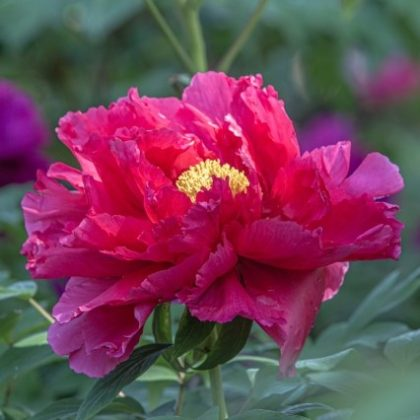 毎日が和菓子日和 | 牡丹の花